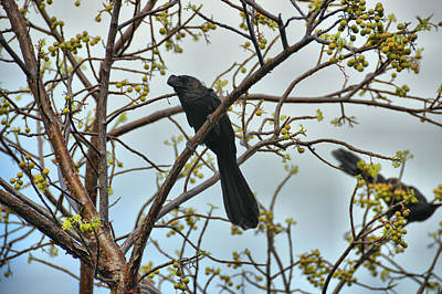 Photograph - Smooth-billed Ani by JAMART Photography