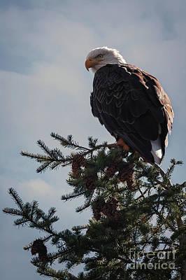 Photograph - Snake River Bald Eagle by Doug Sturgess