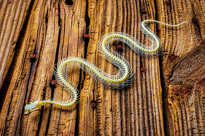 Photograph - Snake Skeleton On Wooden Boards by Garry Gay