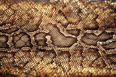 Photograph - Snake Skin by Abner Merchan