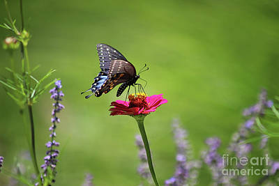 Photograph - Sneaking Up On A Black Swallowtail Butterfly by Karen Adams
