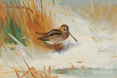Painting - Snipe In The Rushes, 1901  by Archibald Thorburn