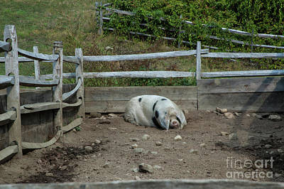 Photograph - Snoozing Hog by Ruth H Curtis
