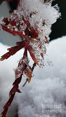 Photograph - Snow And Ice Japanese Maple by TJ Fox