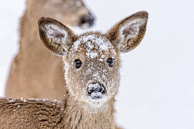 Photograph - Snow Covered Adolescent Whitetailed Deer in Winter by Ray Sheley