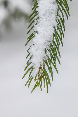 Photograph - Snow Covered Pines Needles  by John McGraw
