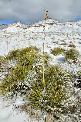 Photograph - Snow Covered Yucca And Book Cliffs by Ray Mathis