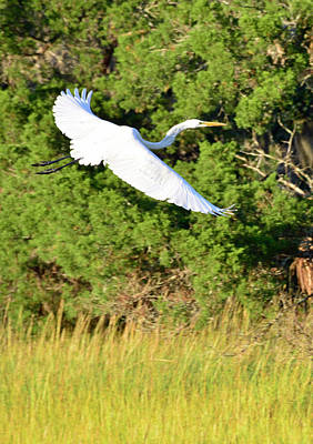 Photograph - Snow Egret Soaring Above The Marsh by Bruce Gourley
