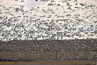 Photograph - Snow Geese At Freezout 2019 by Kae Cheatham