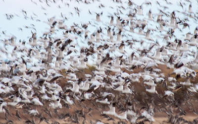 Photograph - Snow Geese Chaos by Jean Noren