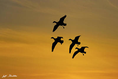 Photograph - Snow Geese Landing At Sunset by Jeff Goulden