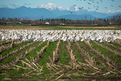 Photograph - Snow Geese Marching by Tom Cochran