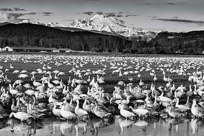 Science Collection - Snow Geese Reflection Black and White by Mark Kiver