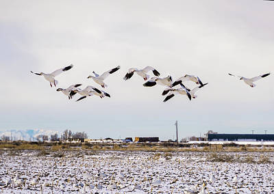 Photograph - Snow Geese by TL Mair