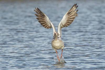 Photograph - Snow Goose 9478-123118-1 by Tam Ryan