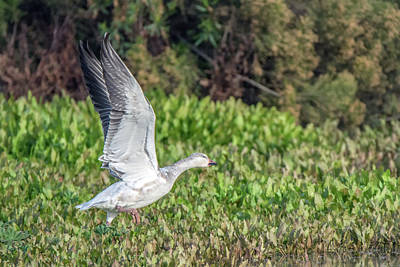 Photograph - Snow Goose Liftoff 0095-010519-1 by Tam Ryan
