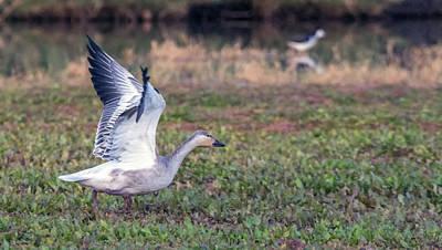 Photograph - Snow Goose 1179-111818-1cr by Tam Ryan