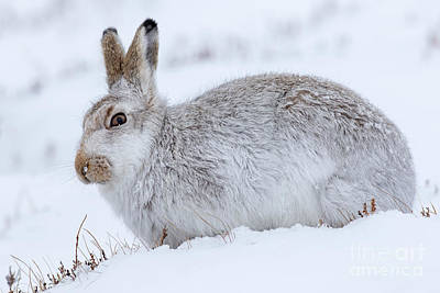 Photograph - Snow Hare In Winter by Arterra Picture Library