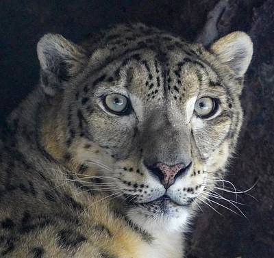 Photograph - Snow Leopard by Susan Rydberg