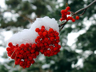 Photograph - Snow On Mountain Ash Berries by Jean Evans