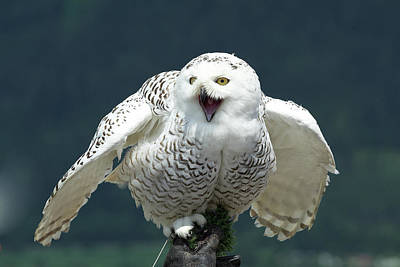 Bird Photograph - Snow Owl by Bikec
