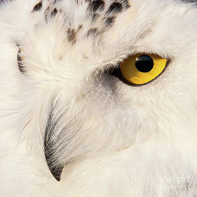 Snow Owl Eye Art Print