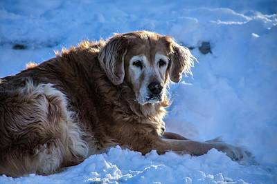 Photograph - Snow Retriever  by Perggals - Stacey Turner