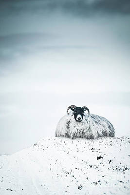 Kitchen Signs - Snow Sheep by Evelina Kremsdorf