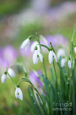 Snowdrops Wall Art - Photograph - Snowdrops Flowering by Tim Gainey