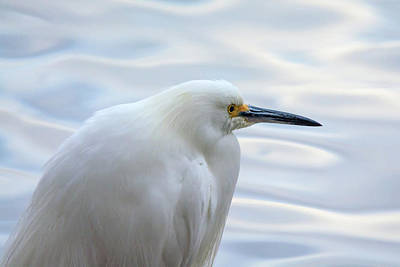 Photograph - Snowy Egret 0798-010919 by Tam Ryan