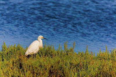 Royalty-Free and Rights-Managed Images - Snowy Egret 1 by Brian Knott Photography