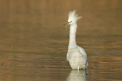 Photograph - Snowy Egret 1543-011919 by Tam Ryan