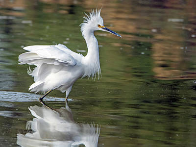 Photograph - Snowy Egret 1825-112018-1cr by Tam Ryan