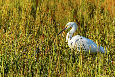 Royalty-Free and Rights-Managed Images - Snowy Egret 2 by Brian Knott Photography