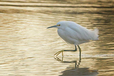 Photograph - Snowy Egret 2407-012119 by Tam Ryan