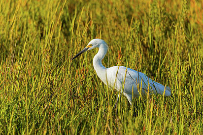 Royalty-Free and Rights-Managed Images - Snowy Egret 3 by Brian Knott Photography