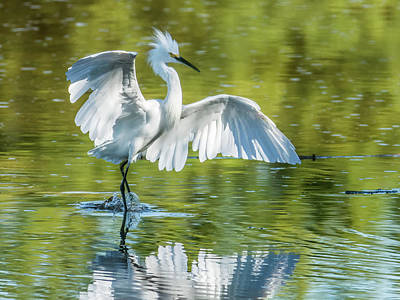 Photograph - Snowy Egret 3458-100818-1cr by Tam Ryan