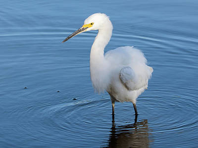 Photograph - Snowy Egret 3501-112317-1cr by Tam Ryan