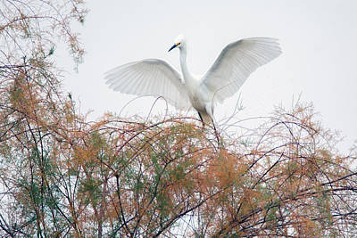 Photograph - Snowy Egret 3717-120818-1cr by Tam Ryan