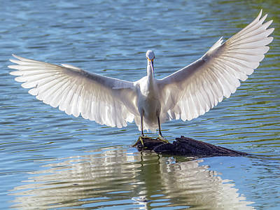 Photograph - Snowy Egret 3841-101018-1cr by Tam Ryan