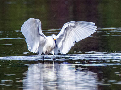 Photograph - Snowy Egret 4369-101618-1cr by Tam Ryan