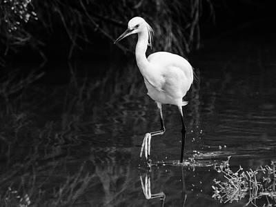 Photograph - Snowy Egret 5121-102218-2cr-bw by Tam Ryan