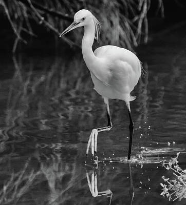 Photograph - Snowy Egret 5121-102218-3cr-2bw by Tam Ryan