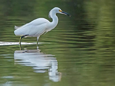 Photograph - Snowy Egret 5196-102318-1cr by Tam Ryan