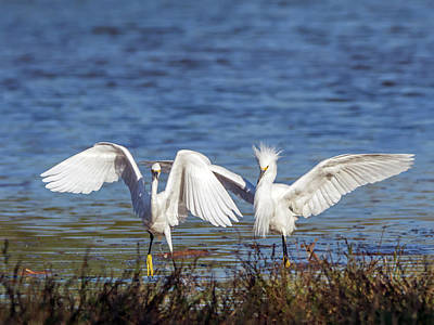 Photograph - Snowy Egret Chase 8860-110918-1cr by Tam Ryan