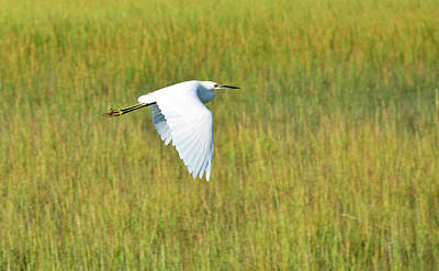 Photograph - Snowy Egret Doing A Downstroke by Bruce Gourley