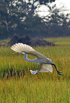 Photograph - Snowy Egret Fanning In Flight by Bruce Gourley