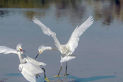 Photograph - Snowy Egret Fight 0987-111718-1cr by Tam Ryan