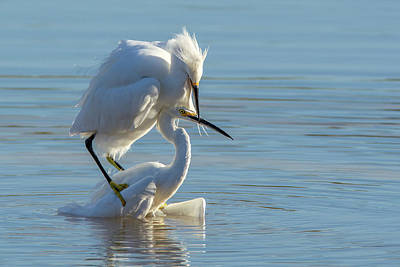 Photograph - Snowy Egret Fight 3192-120318-1 by Tam Ryan