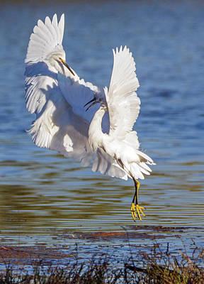 Photograph - Snowy Egret Fight 8805-110918-1cr by Tam Ryan